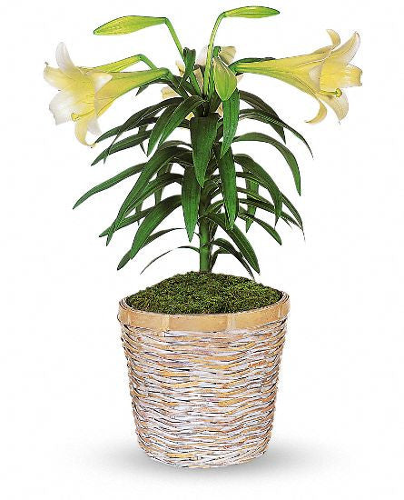 EFE118 Easter Lily - Euro Flowers Mississauga ON