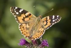 Painted Lady Butterfly Kit