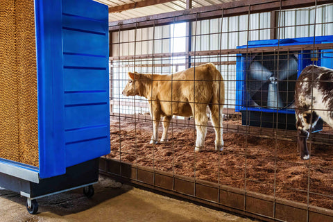 Show cattle stay comfortable in a run with two Maxx Air evaporative coolers.