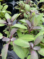 Salvia Purple Sage