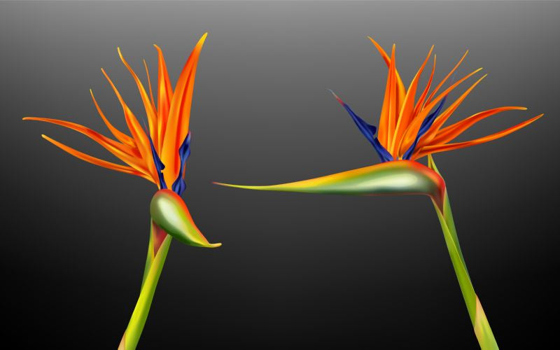 Strelitzia reginae, bird of paradise or crane  #796