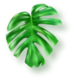Tropical green monstera leaf on white background  #908