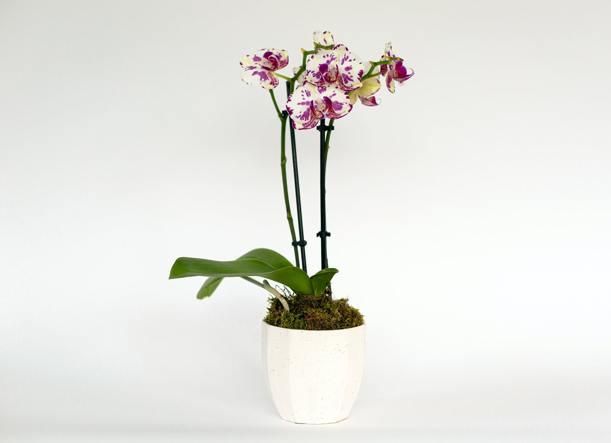 Potted Orchid