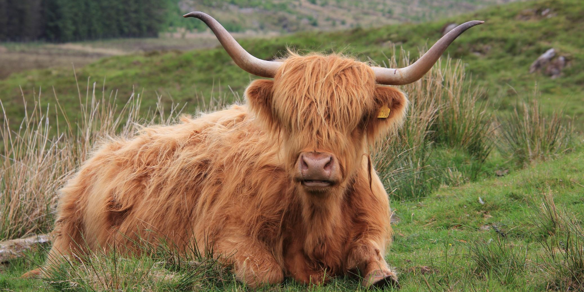 A Highland cow in a field at the Talisker Distillery in Islay Scotland
