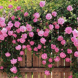 100pcs Pink Red Climbing Rose Seeds Perennial Flower Garden Decor Plant Seed !!