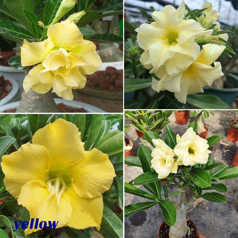 Desert Rose Seeds, Genuine Desert Rose Seeds,Adenium Obesum Seeds, Rare Desert Rose Flower Seeds for Home Garden Plant