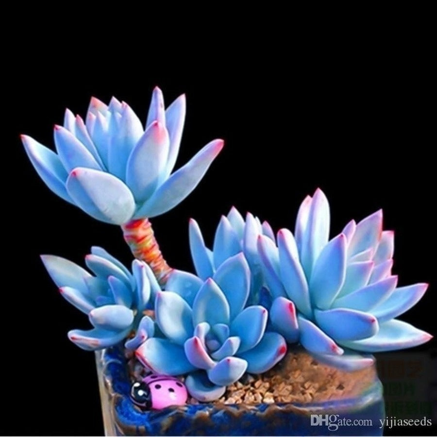 Rare Beauty Succulent Seeds Easy To Grow Potted Flower Seeds Bonsai Seeds for Home & Garden Mix Color