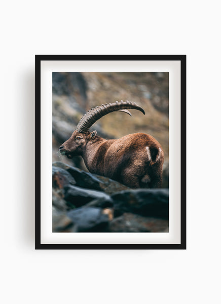 Alpine ibex eating breakfast