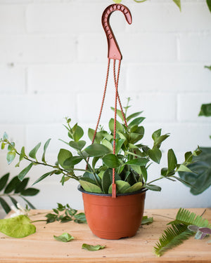 Load image into Gallery viewer, Aeschynanthus - Mona Lisa - 'Lipstick Plant'