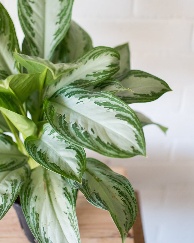 Aglaonema - 'Chinese Evergreen' - Silver Bay - Plant - STUDIO FOLIAGE