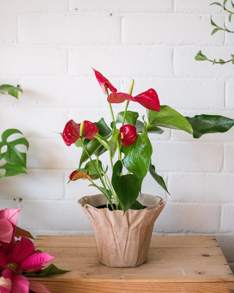 Anthurium andraeanum - Red - Plant - STUDIO FOLIAGE