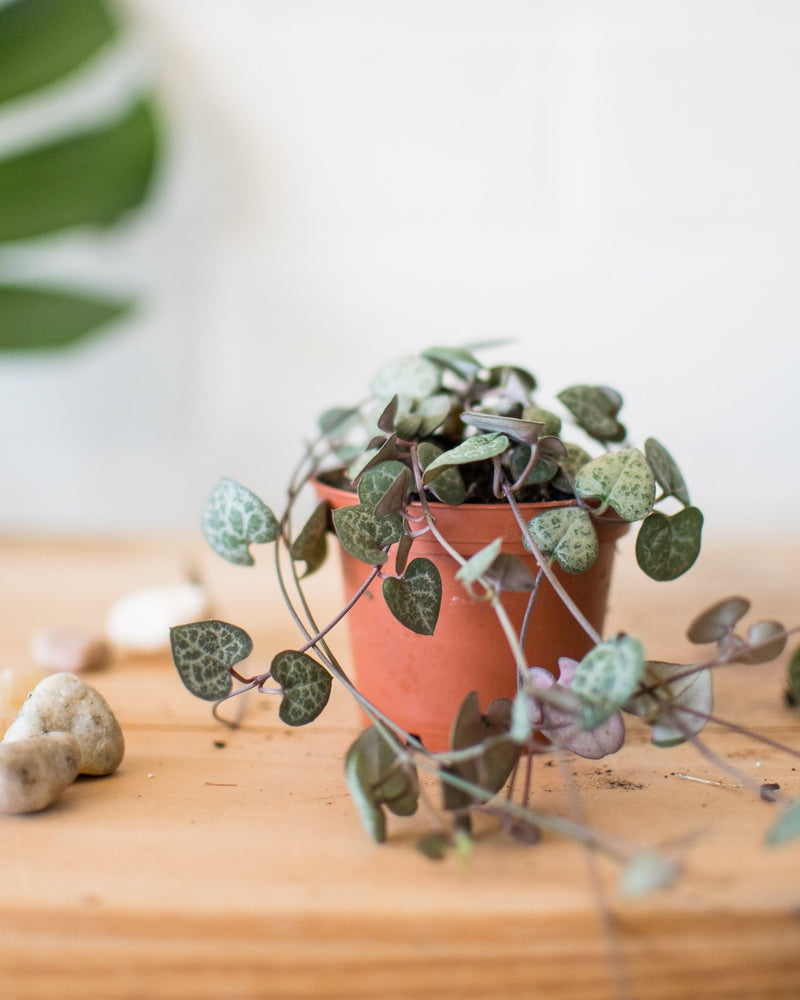 Load image into Gallery viewer, Ceropegia woodii - String of Hearts - Plant - STUDIO FOLIAGE