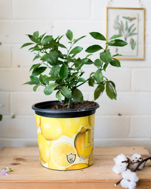 Citrus limon meyeri - 'Lemon Tree' - Plant - STUDIO FOLIAGE