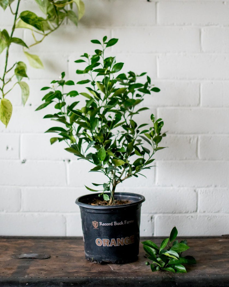 Citrus microcarpa - 'Calamondin Tree' - Plant - STUDIO FOLIAGE