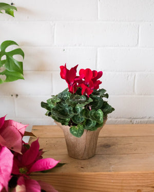 Cyclamen - Red - Plant - STUDIO FOLIAGE