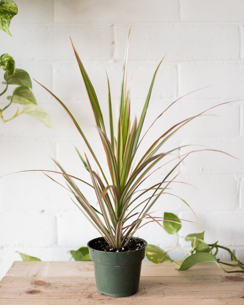 Dracaena marginata - Dragon Tree - Plant - STUDIO FOLIAGE