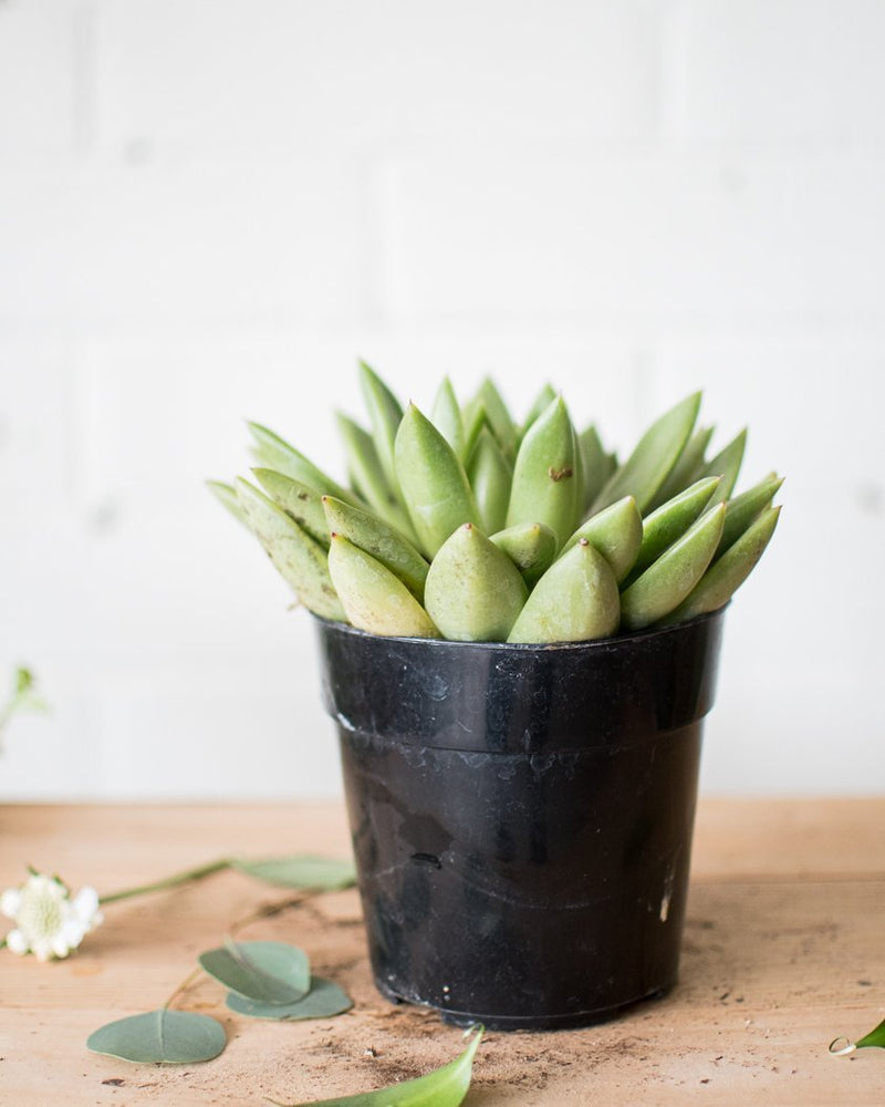 Load image into Gallery viewer, Echeveria agavoides - 'Miranda' - Plant - STUDIO FOLIAGE