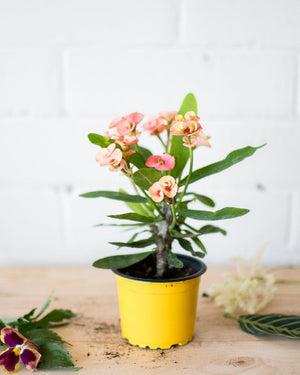 Charger l'image dans la galerie, Euphorbia milii - Crown of Thorns 'Peach Melba' - Not flowering - Plant - STUDIO FOLIAGE