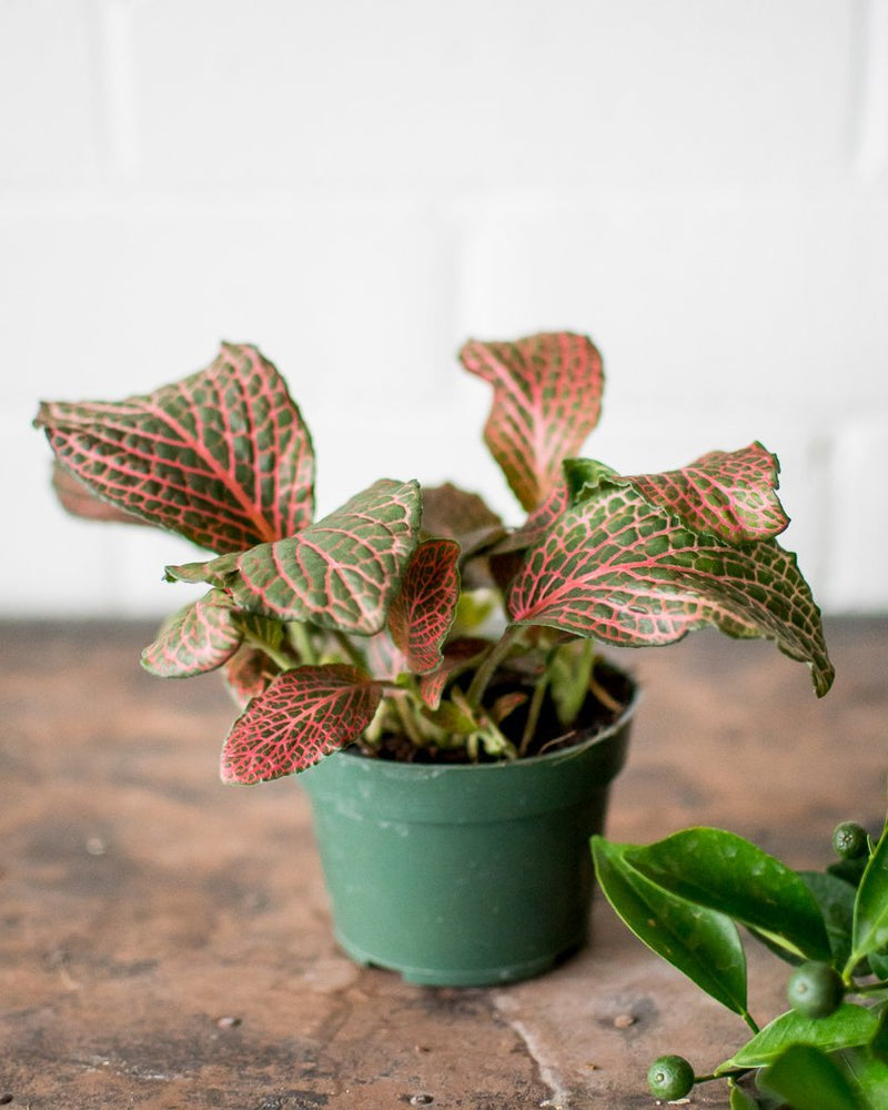 Load image into Gallery viewer, Fittonia - 'Nerve Plant' - Pink - Plant - STUDIO FOLIAGE