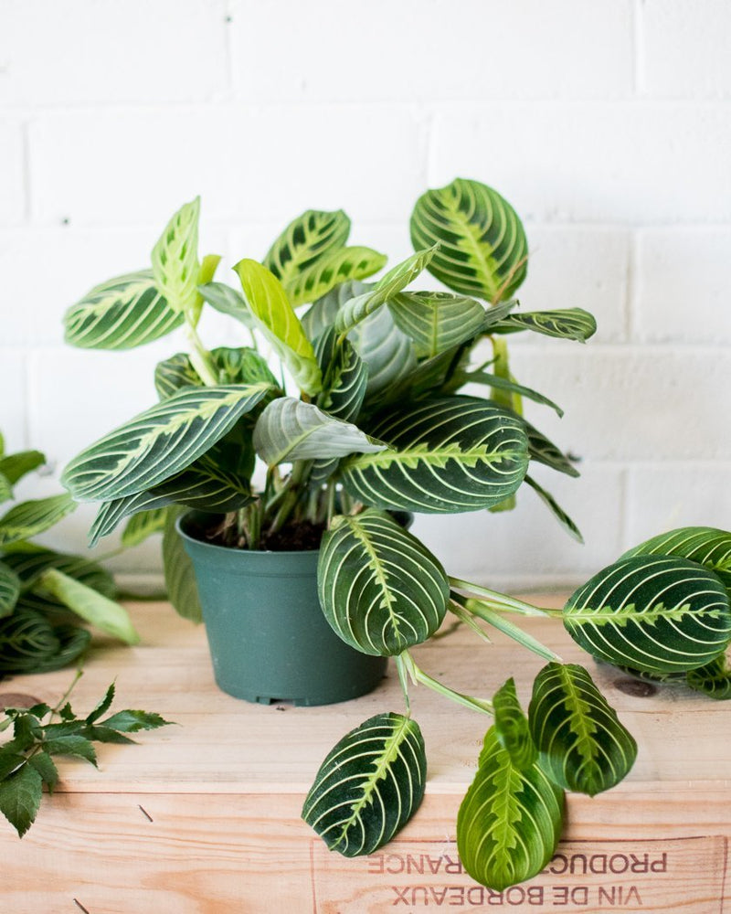 Lemon Maranta leuconeura - 'Prayer plant' - Plant - STUDIO FOLIAGE