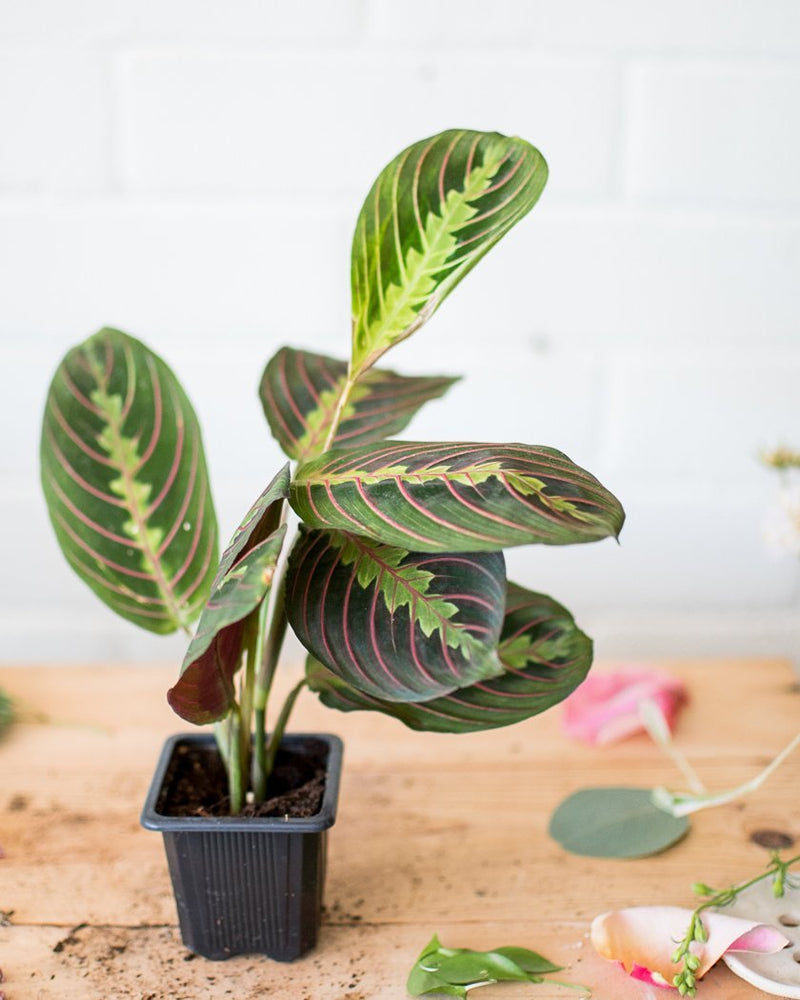 Maranta leuconeura - 'Prayer Plant' - Red - Plant - STUDIO FOLIAGE