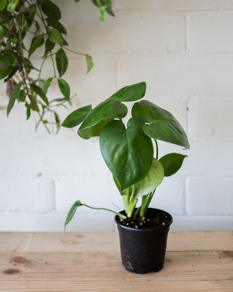 Monstera deliciosa - 'Swiss cheese plant' - Plant - STUDIO FOLIAGE