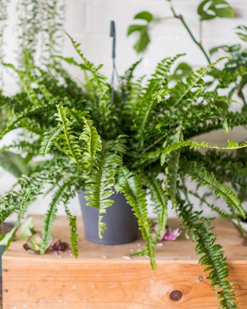 Load image into Gallery viewer, Nephrolepis exaltata - 'Boston Fern' - Plant - STUDIO FOLIAGE
