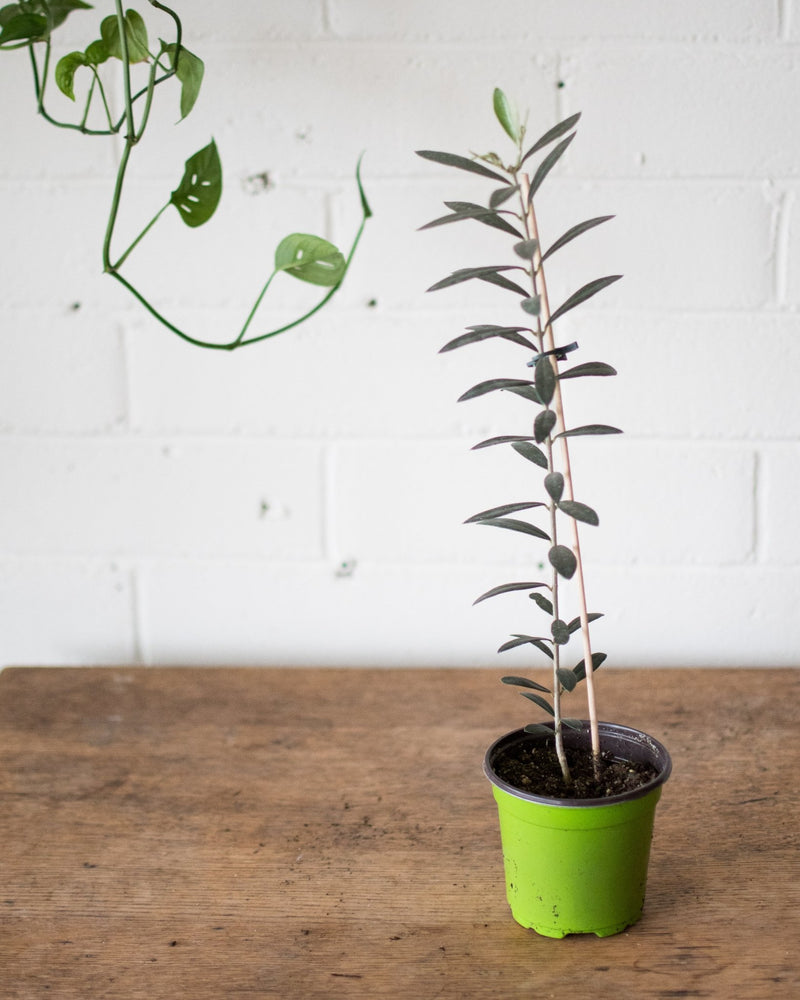 Load image into Gallery viewer, Olivier - Olive tree - Plant - STUDIO FOLIAGE