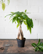 Pachira aquatica - 'Money Tree' - Plant - STUDIO FOLIAGE