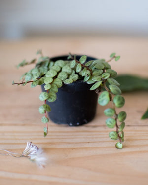 Peperomia prostata -' String of Turtles' - Plant - STUDIO FOLIAGE