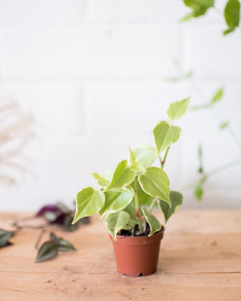 Peperomia scandens - Variegated - Plant - STUDIO FOLIAGE