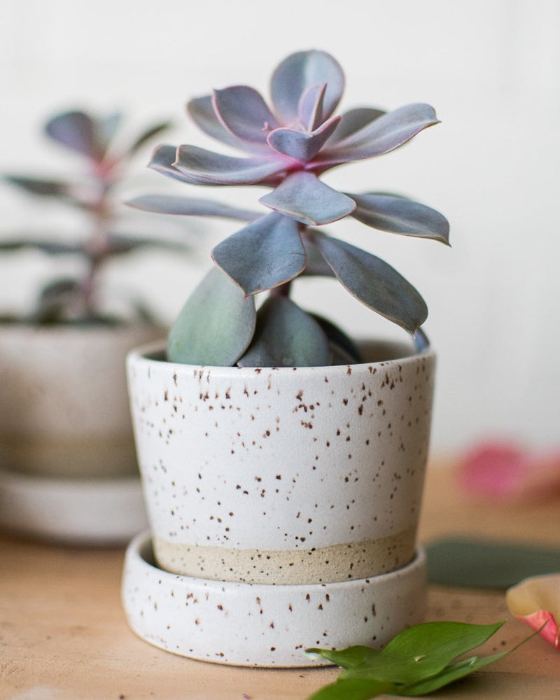 Perfectly Imperfect - Succulent Cute Combo - Plant - STUDIO FOLIAGE