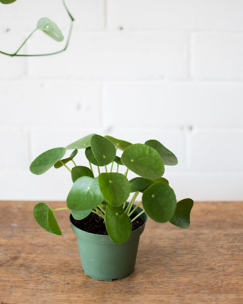 Load image into Gallery viewer, Pilea peperomioides - 'Friendship plant' - Plant - STUDIO FOLIAGE