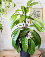 Schefflera Alpine - 'Junior' - Plant - STUDIO FOLIAGE
