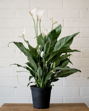 Load image into Gallery viewer, Spathiphyllum Domino - 'Peace Lily' - Plant - STUDIO FOLIAGE