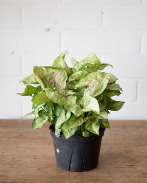 Load image into Gallery viewer, Syngonium Cream Allusion - 'Arrowhead' - Plant - STUDIO FOLIAGE