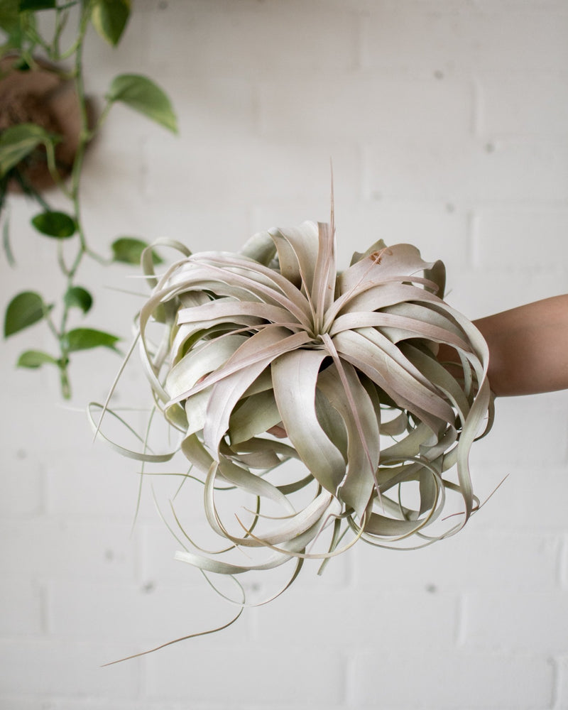 Tillandsia - Xerographica - 'Air plant' Large - Plant - STUDIO FOLIAGE