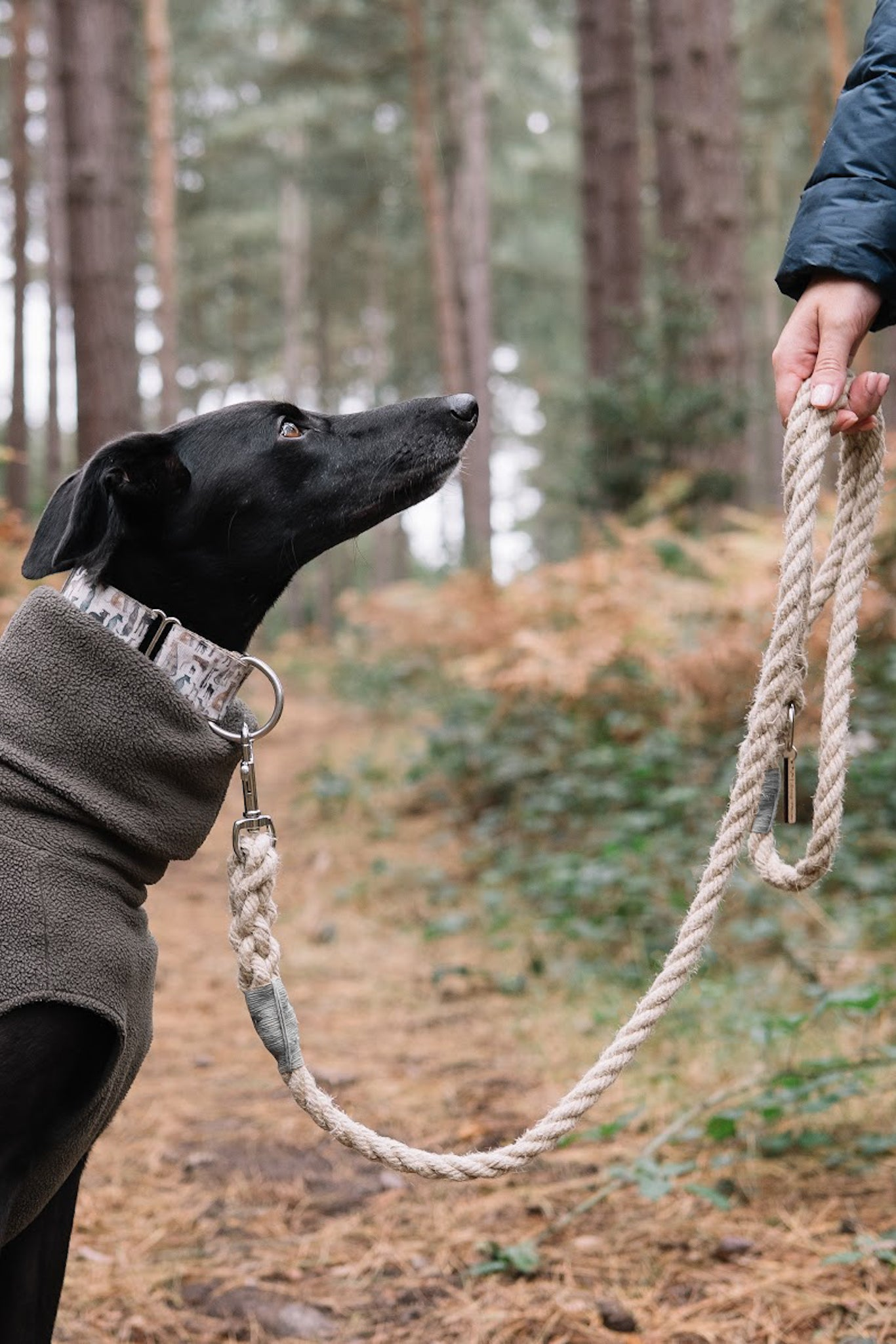 Black Whippet Looking at it's Owner Whilst on a Smug Mutts Natural Hemp Lead
