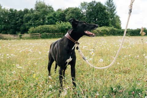Black Whippet on a Handmade Natural Hemp Lead in a Spring Field
