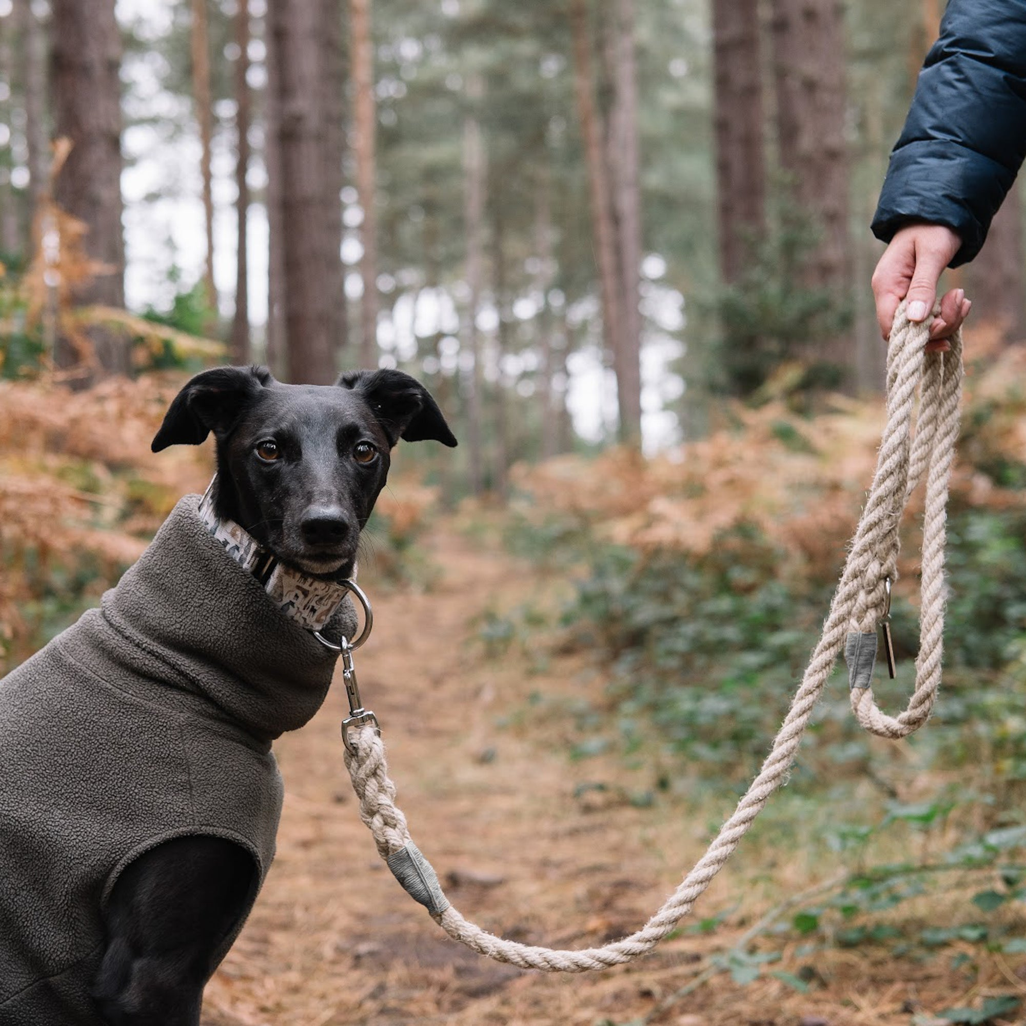 Black Whippet on a Smug Mutts Natural Hemp Lead