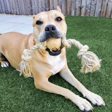 Dog Holding a Smug Mutts Tug-A-Ball Toy in it's Mouth