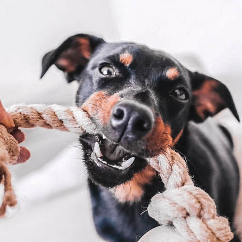 Lancashire Heeler Playing Tug with a Smug Mutts Natural Hemp Rope Toy