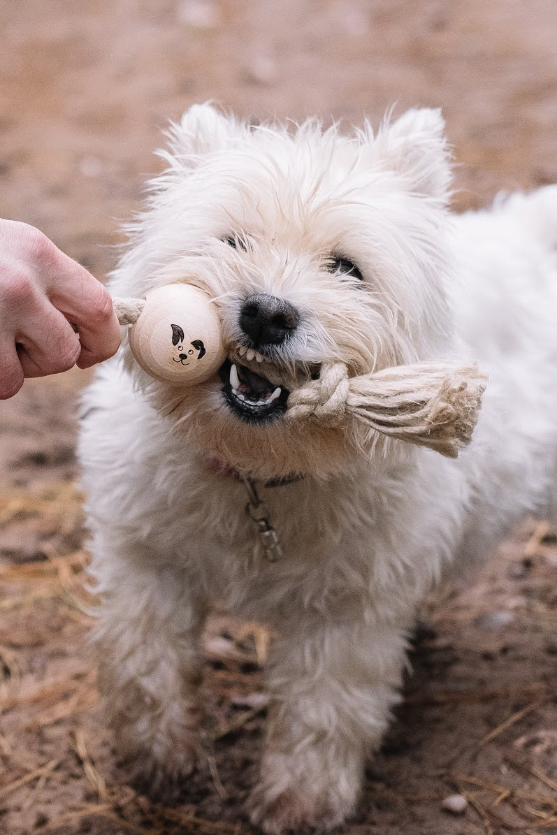 Westie Playing Tug with a Smug Mutts Tug a Ball Natural Beech Wood Dog Toy