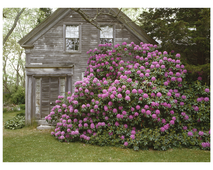 Great Rhododendron