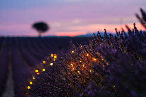 evening lavender field with fairy lights