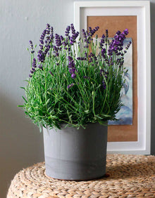 Lavanda Early Blue