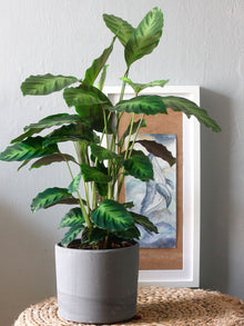Calathea Luminosa