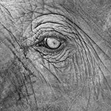 Elephant Closeup Wall Art - Metal Print