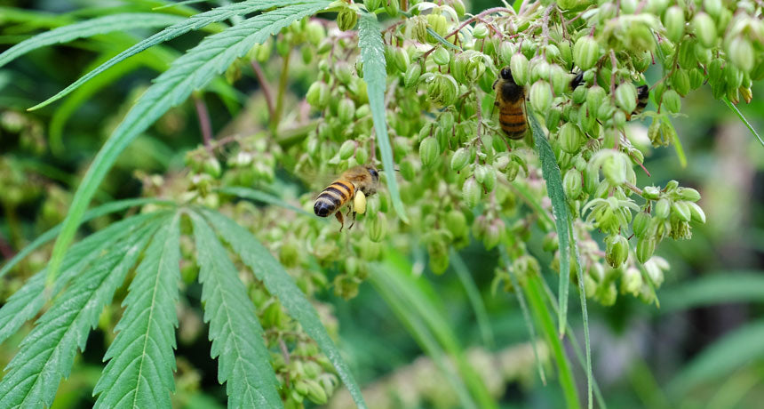 Hemp Fields Offer A Late Season Pollen Source For Stressed Bees