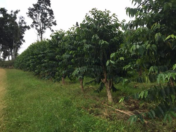 Kona Coffee Farm Report #2